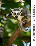 Baby Ring Tailed Lemur In Tree...