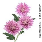 Chrysanthemum Flower On A Whit...