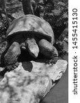 Stock photo the aldabra giant tortoise aldabrachelys gigantea from the islands of the aldabra atoll in the 1455415130
