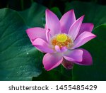 Close Up Of Lotus Flower On The ...