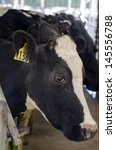 Small photo of PERIA, NZ - JULY 07:Holstein cow in a milking facility on July 07 2013.The income from dairy farming is now a major part of the New Zealand economy, becoming an NZ$11 billion industry by 2010.