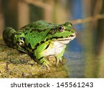 Green Frog And Reflection In...