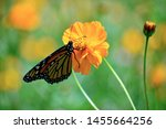 Monarch Butterfly Hanging Onto...
