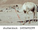 camel stands on the sand near... | Shutterstock . vector #1455693299