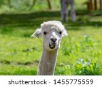 Smile And Funny Alpaca Is...