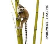 Ring Tailed Lemur  6 Weeks   ...