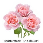 pink roses bunch isolated on... | Shutterstock . vector #145588384