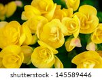 Closeup Yellow Begonia Flowers