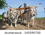 Bullocks With Yoke To Pull The...