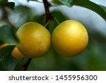 Yellow Mirabelle Plums. Ripe...
