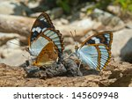 Small photo of A close up of the butterflies (Apatura schrencki and Brentis), profile.