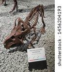 A copy of protoceratops andrewsi skeleton in Heureka, Vantaa Finland
