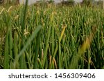 field of indian onion plant low ...