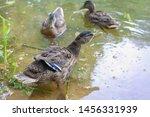 Wild Ducks Swim In The River ...