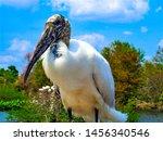 Wood Stork   A Majestic Bird...