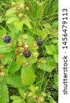 Blackberry Or Blueberry  Rubus...