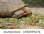 Stock photo tortoise eating his meal in his pen 1456495676
