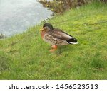 Zoological Image Of Male Duck...