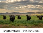 Herd Of Black Angus Cattle In...