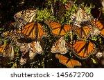 monarch butterflies | Shutterstock . vector #145672700