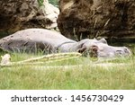 Big Hippopotamus Relaxing In...