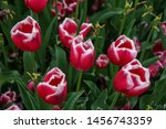 tulip flower garden in spring... | Shutterstock . vector #1456743359