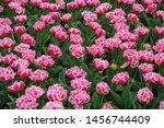 tulip flower garden in spring... | Shutterstock . vector #1456744409