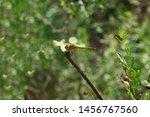 Stock photo flying adder dragonfly or odonata dragonfly sitting on a branch 1456767560