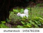 Albino Gray Squirrel   Albino...