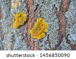 Yellow Lichen On The Bark Of A...