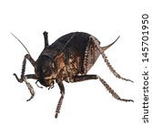 Small photo of Cricket beetle isolated on white background, Bradyporus dasypus, biggest cricket