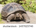 Stock photo close up portrait of a wild galapagos tortoise on the galapagos islands 1457025740