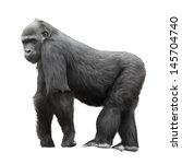 Stock photo silverback gorilla standing on a lookout isolated on white background 145704740
