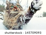 Stock photo cat playing with snow cat walking outdoors in snow in winter 145709093