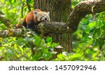 The Red Panda Lying On The Tree ...