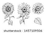 Sketch Of Sunflower. Hand Draw...