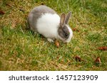 Domestic Rabbit Living Wild In...