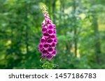 Wild Foxglove Flower  ...