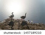 The Group Of Goose Near To Water