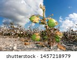 ground level view of a lone survivor of cotton plants among those prepared for harvest by chemical execution, near Sinton in San Patricio Co, Tx
