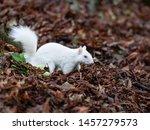 Albino Grey Squirrel   Albino...