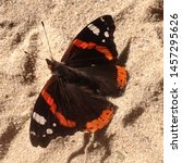 Macro photo nature butterfly red admiral. Background Vanessa atalanta butterfly. Image  red admiral butterfly sitting on sand