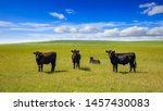 Black Angus Cows In The...