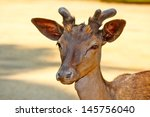 a young deer portrait | Shutterstock . vector #145756040