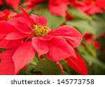 Beautiful Red Poinsettia With...