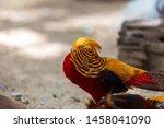 The Mature Male Golden Pheasant ...
