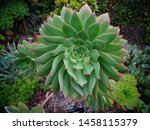Small photo of Gorgeous green succulent plant. Hardy plant growing outdoors. Hot climate, tropical plant. Mint green tinged with pink. Scottish / European garden with exotic plants.