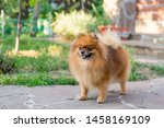 Stock photo puppy pomeranian dog cute pet happy smile playing in nature pomeranian dogs posing after show 1458169109