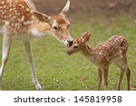Stock photo mother s love deer and cute fawn 145819958