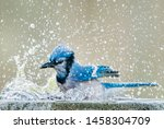 Bluejay Splashing up a Storm in Bird Bath in South Central Louisiana